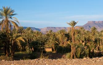 palm tree in taroudant  tourism in morocco