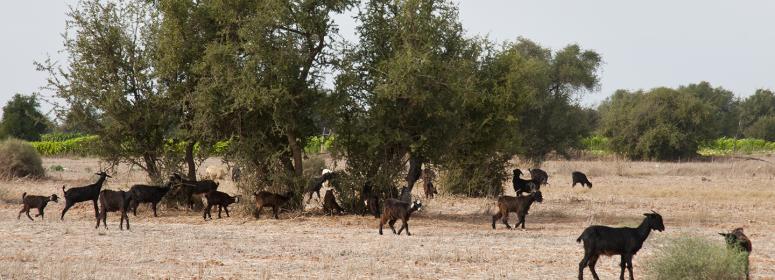 essaouira goats nature holidays farm morocco