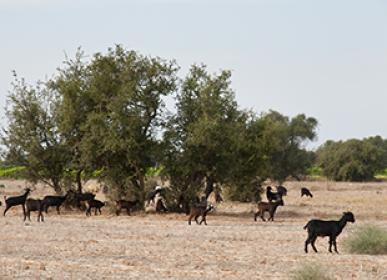 essaouira town nature goats tourism morocco